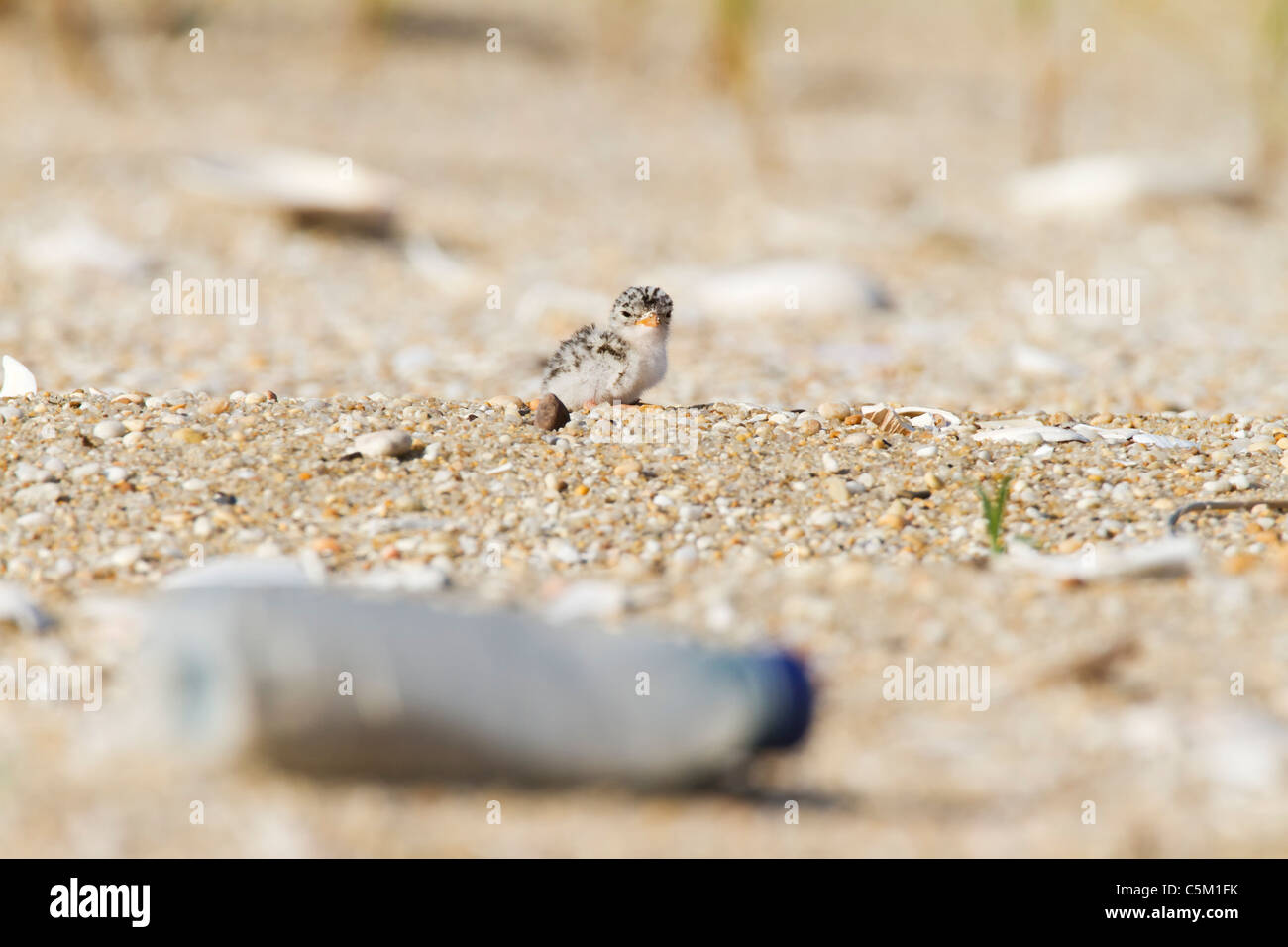 Least Tern chick on polluted beach - Stock Image
