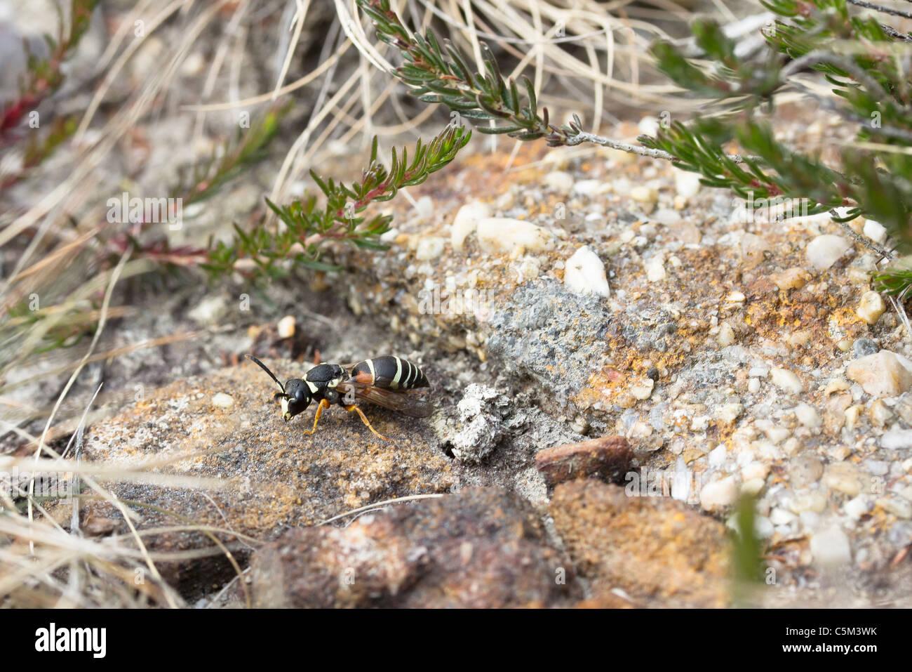 The rare Purbeck mason wasp (Pseudepipona herrichii). Stock Photo