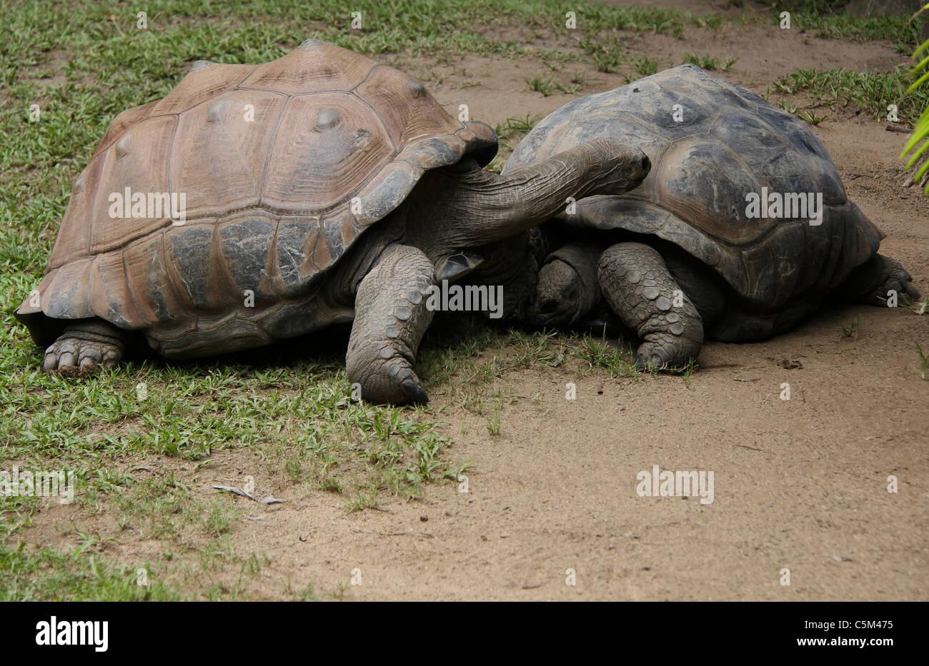 Giant turtles - Stock Image