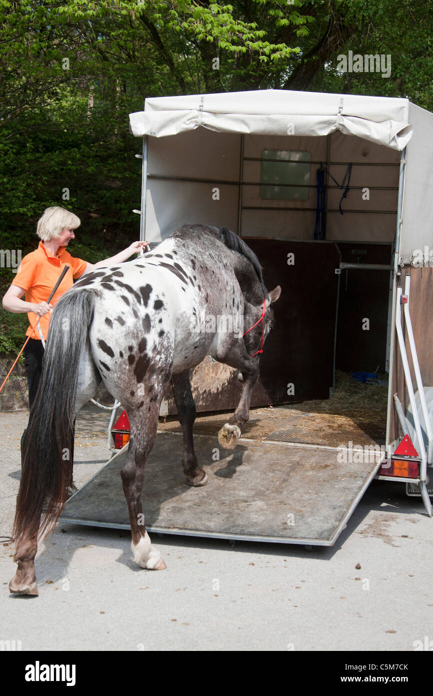 Knabstrup horse walking into trailer - Stock Image