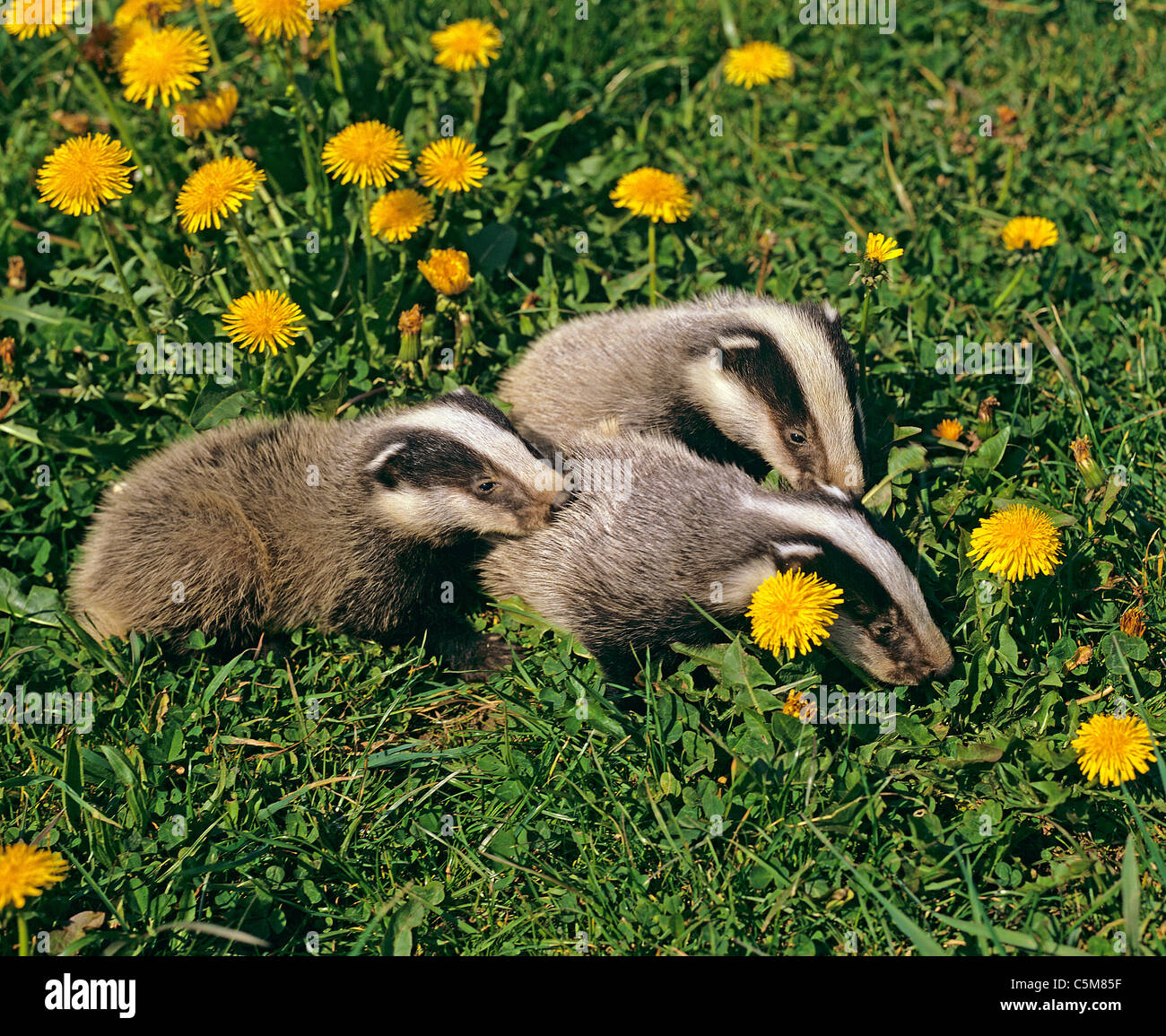 European Badger (Meles meles) . Three cubs on a meadow with flowering Dandelion - Stock Image