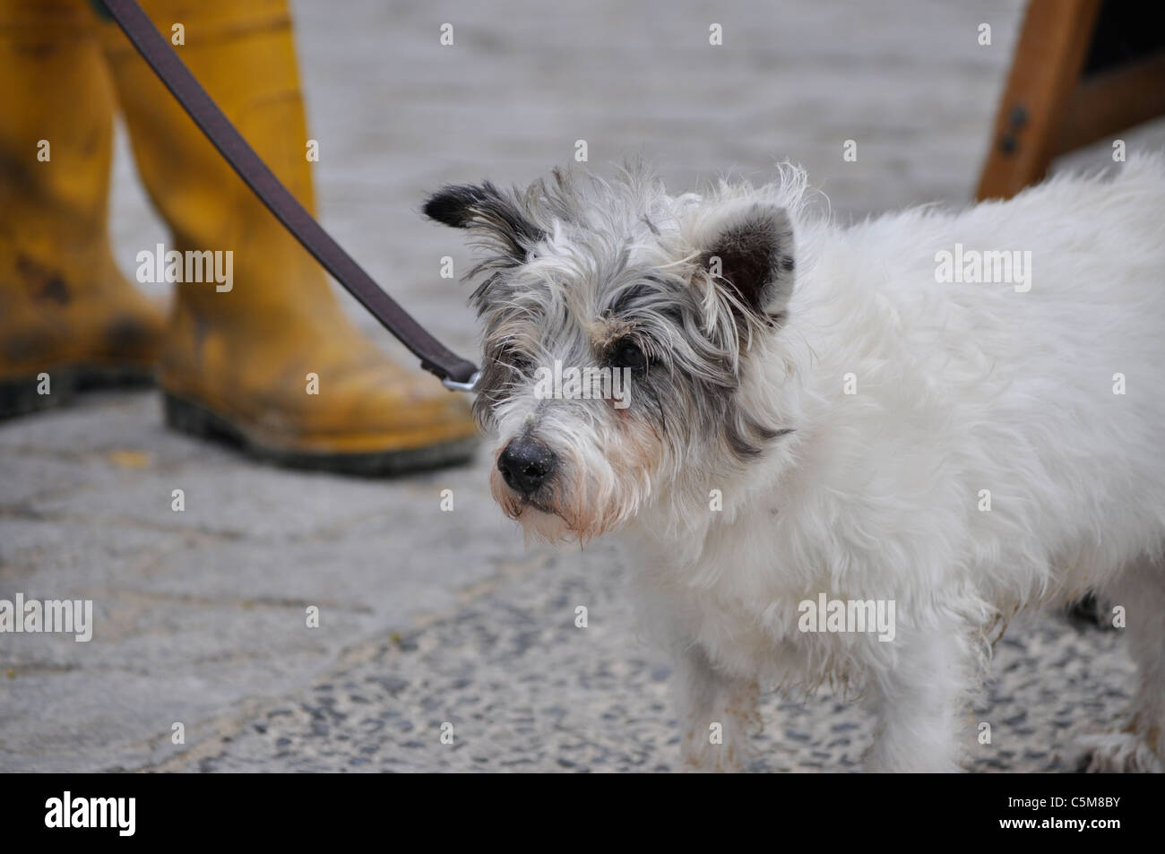Wire Haired Jack Russell Stock Photos & Wire Haired Jack Russell ...