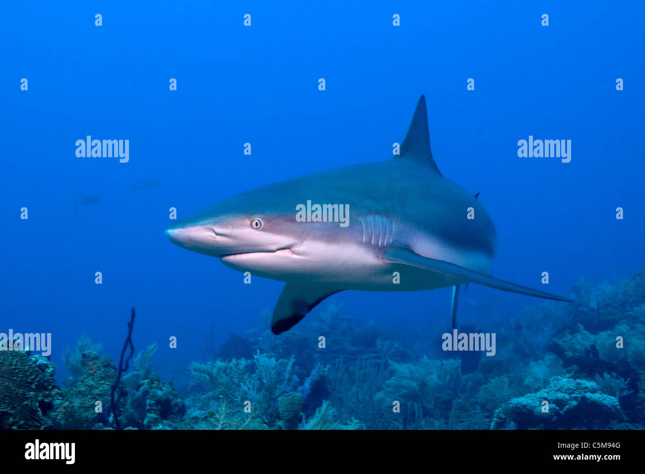 A Caribbean Reef Shark swims by a diver at Roatan,off the coast of Honduras. - Stock Image