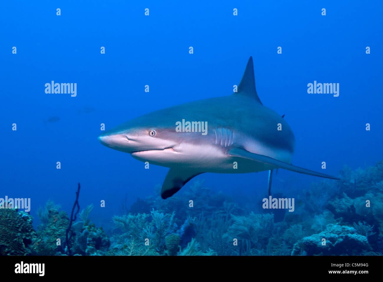A Caribbean Reef Shark swims by a diver at Roatan,off the coast of Honduras. Stock Photo
