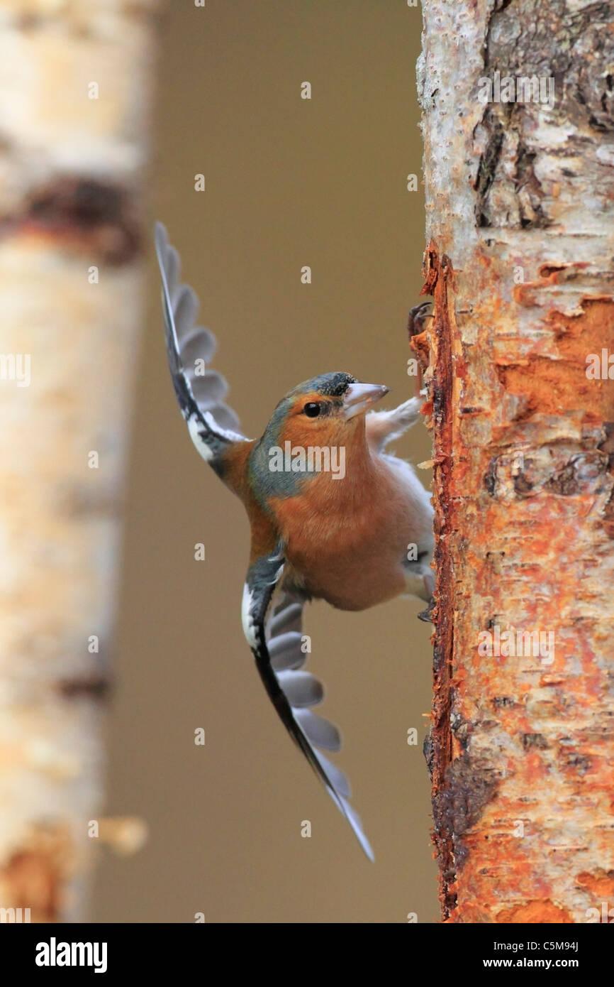 Chaffinch at tree / Fringilla coelebs - Stock Image
