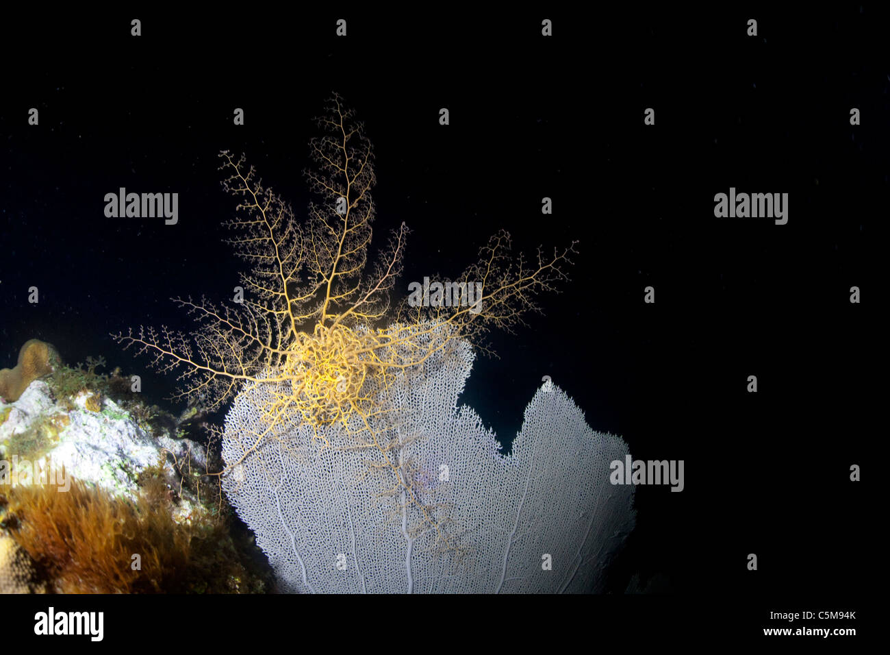 A basket star rests on a sea fan coral on a night dive at Roatan, off the coast of Honduras. - Stock Image