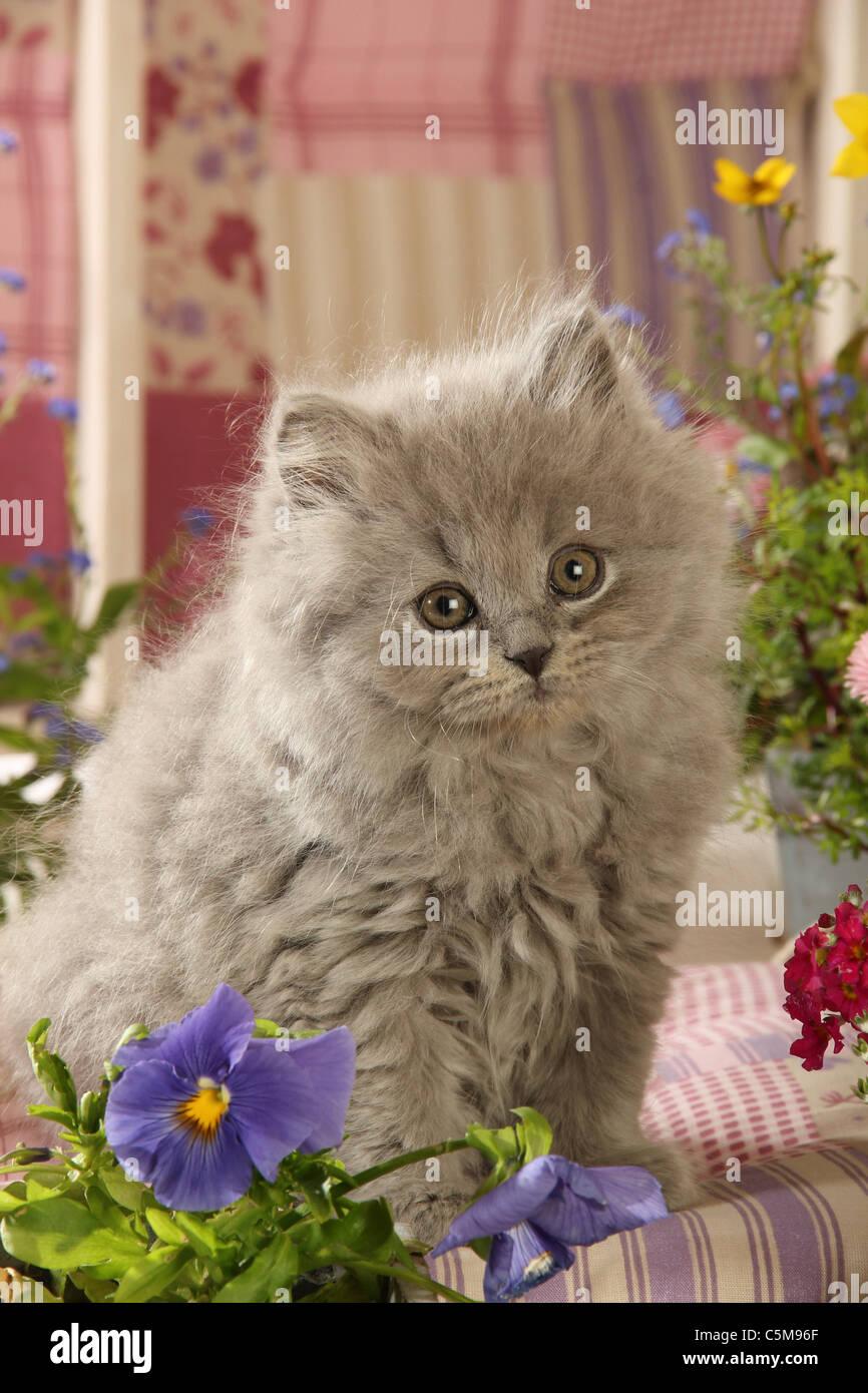 Highlander kitten - sitting - Stock Image