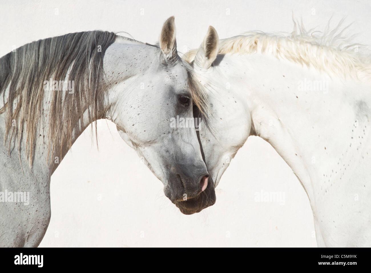 Arabian horse and Barb horse - portrait - Stock Image