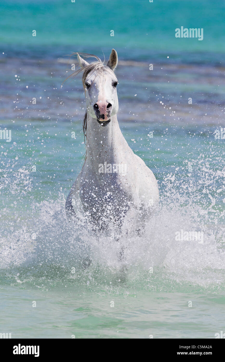Arabian Horse Grey Stallion Galloping Out From The Sea Stock Photo Alamy