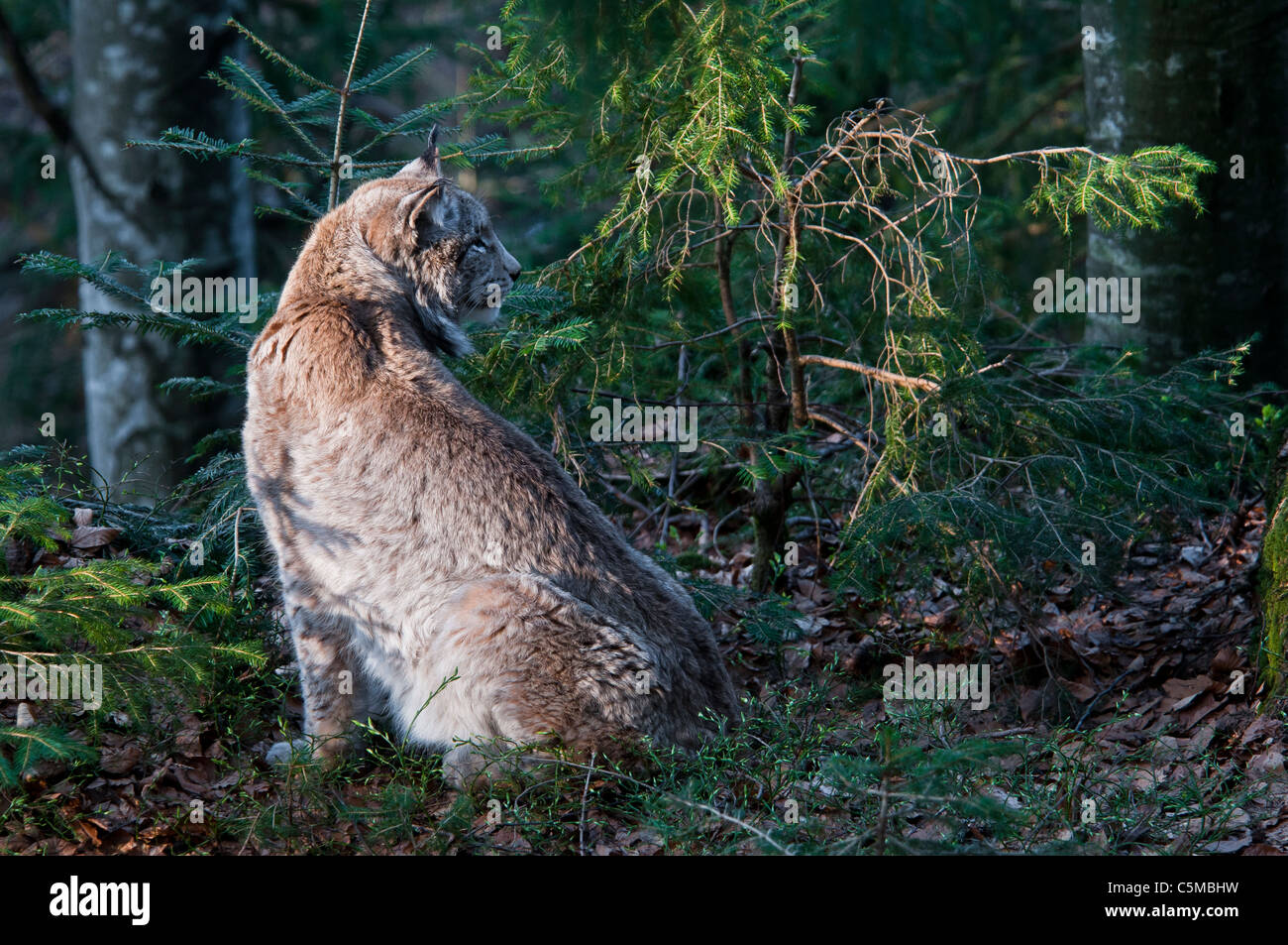 Eurasian Lynx, Lynx lynx, in a natural environment Stock Photo