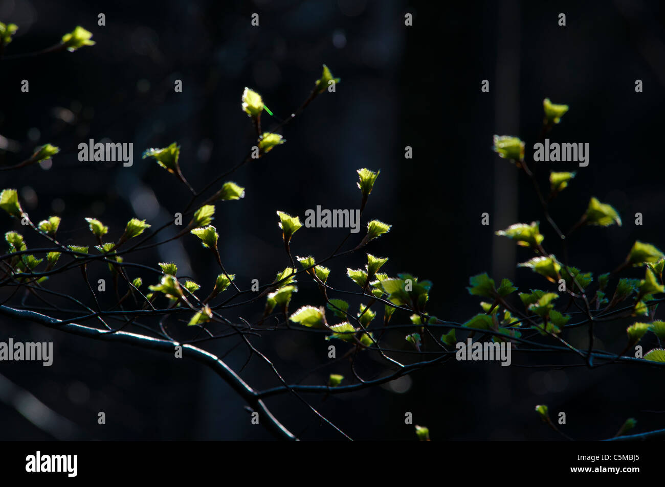 Young shoots of beech, Fagus, in the backlight - Stock Image