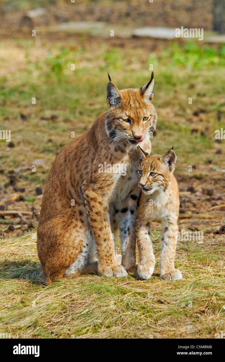 Eurasian Lynx, Lynx lynx, mother with cub Stock Photo