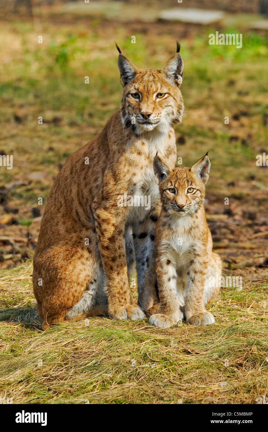 Eurasian Lynx, Lynx lynx, mother with cub - Stock Image