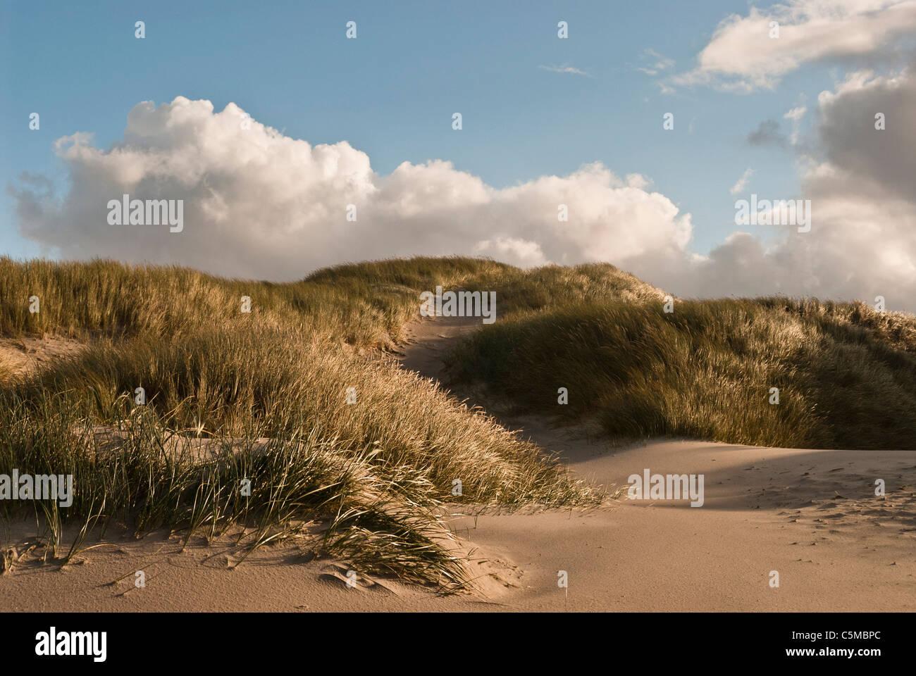 European Marram Grass, Ammophila arenaria, on a dune near the North Sea beach, Denmark - Stock Image