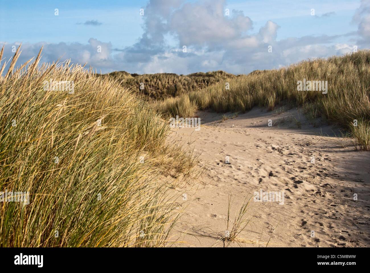 European Marram Grass, Ammophila arenaria, on a dune near the North Sea beach at Vejers beach in Jutland, Denmark - Stock Image