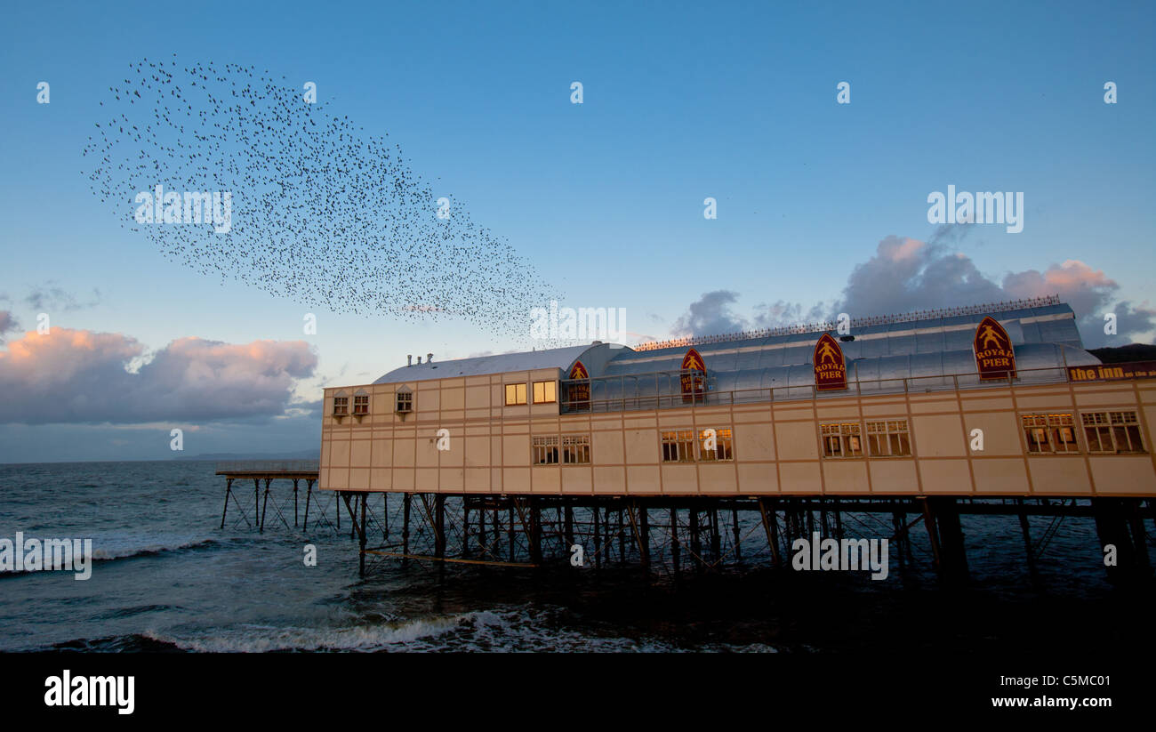 Starlings at dusk at Aberystwyth pier. The annual spectacular murmuration of tens of thousands of starlings on Cardigan - Stock Image