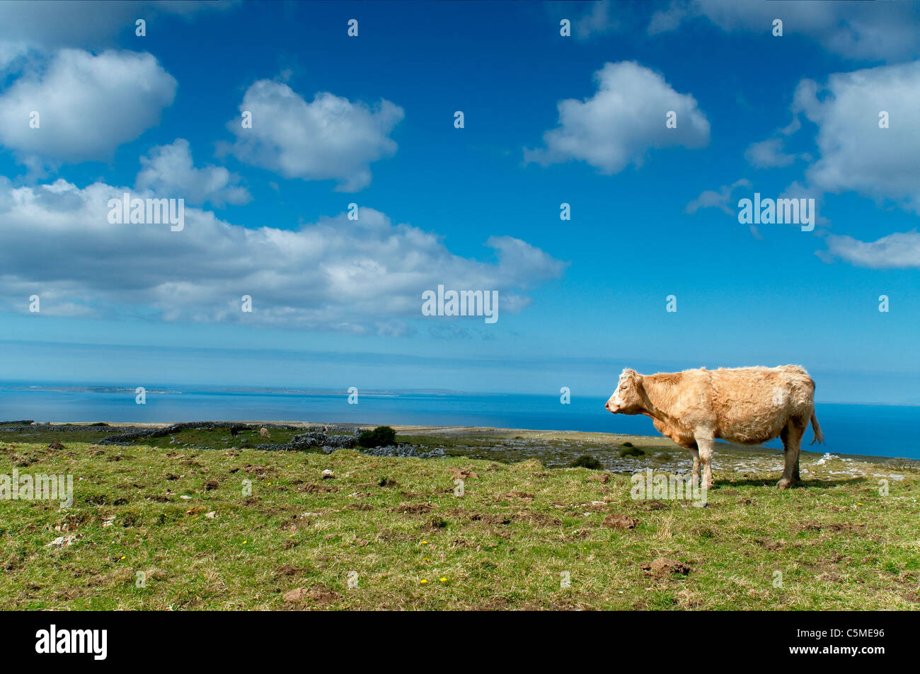 Cow at pasture by the ocean at Western Ireland - Stock Image