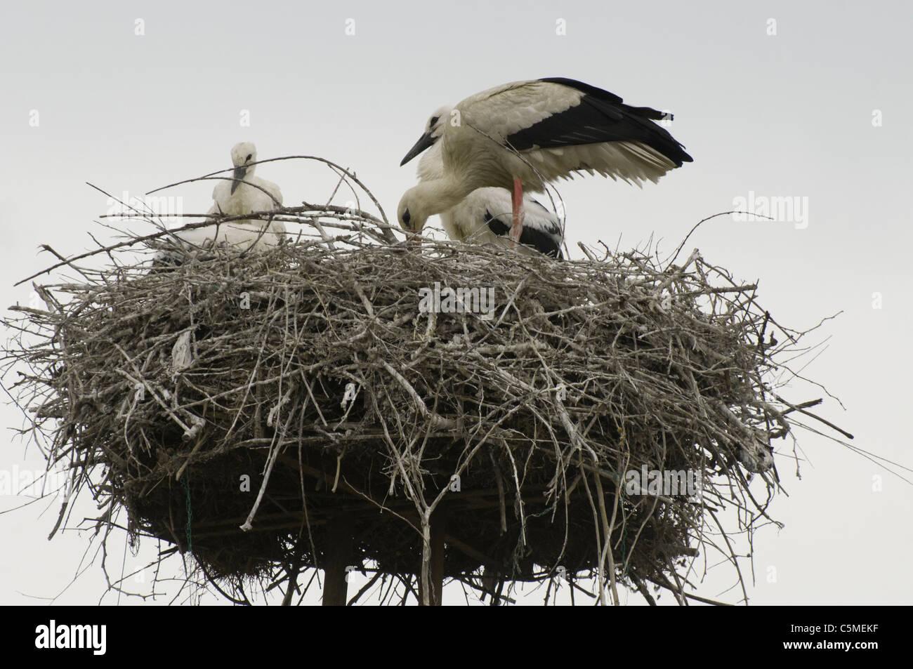 A stork feeding its fledglings in their nest, western Turkey - Stock Image