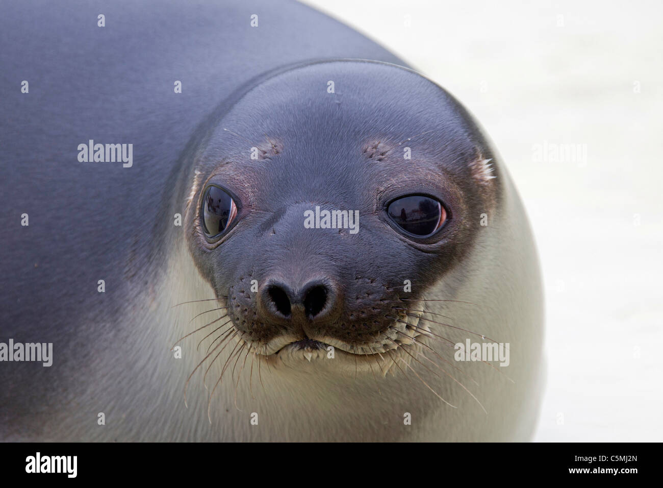Hooded Seal (Cystophora cristata), portrait of a young female. - Stock Image