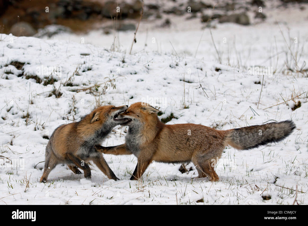 Red Fox (Vulpes vulpes). Two adults fighting in winter. Germany Stock Photo