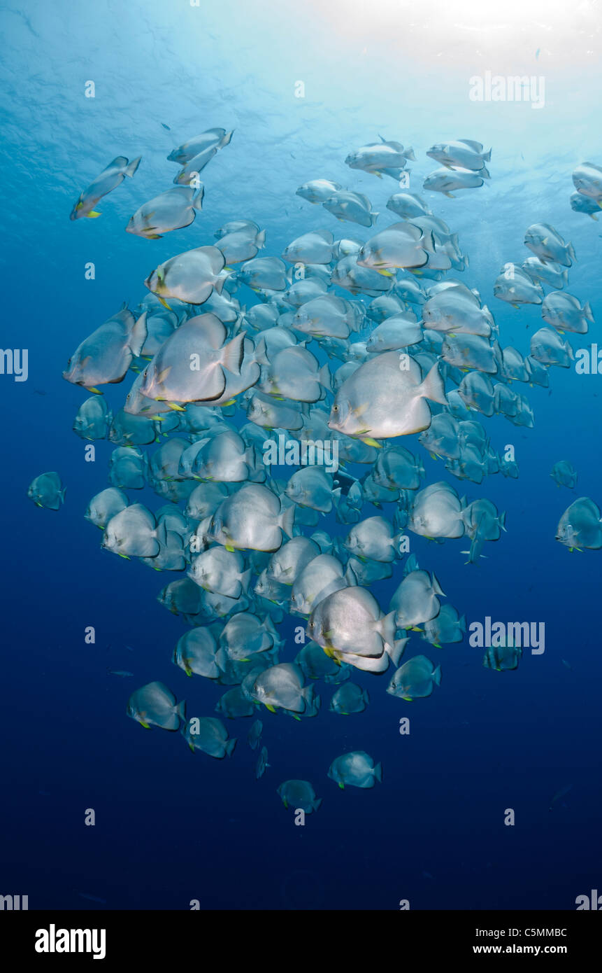 Mating batfish schooling around Ras Mohammed, Egypt, Red Sea - Stock Image
