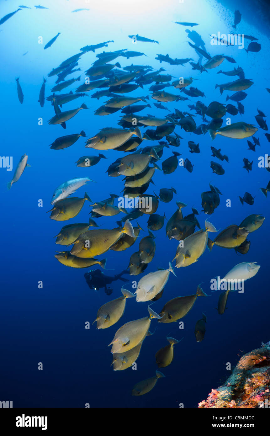 Unicorn fish schooling around Ras Mohammed in annual mating season, Sinai, Egypt, Red Sea - Stock Image