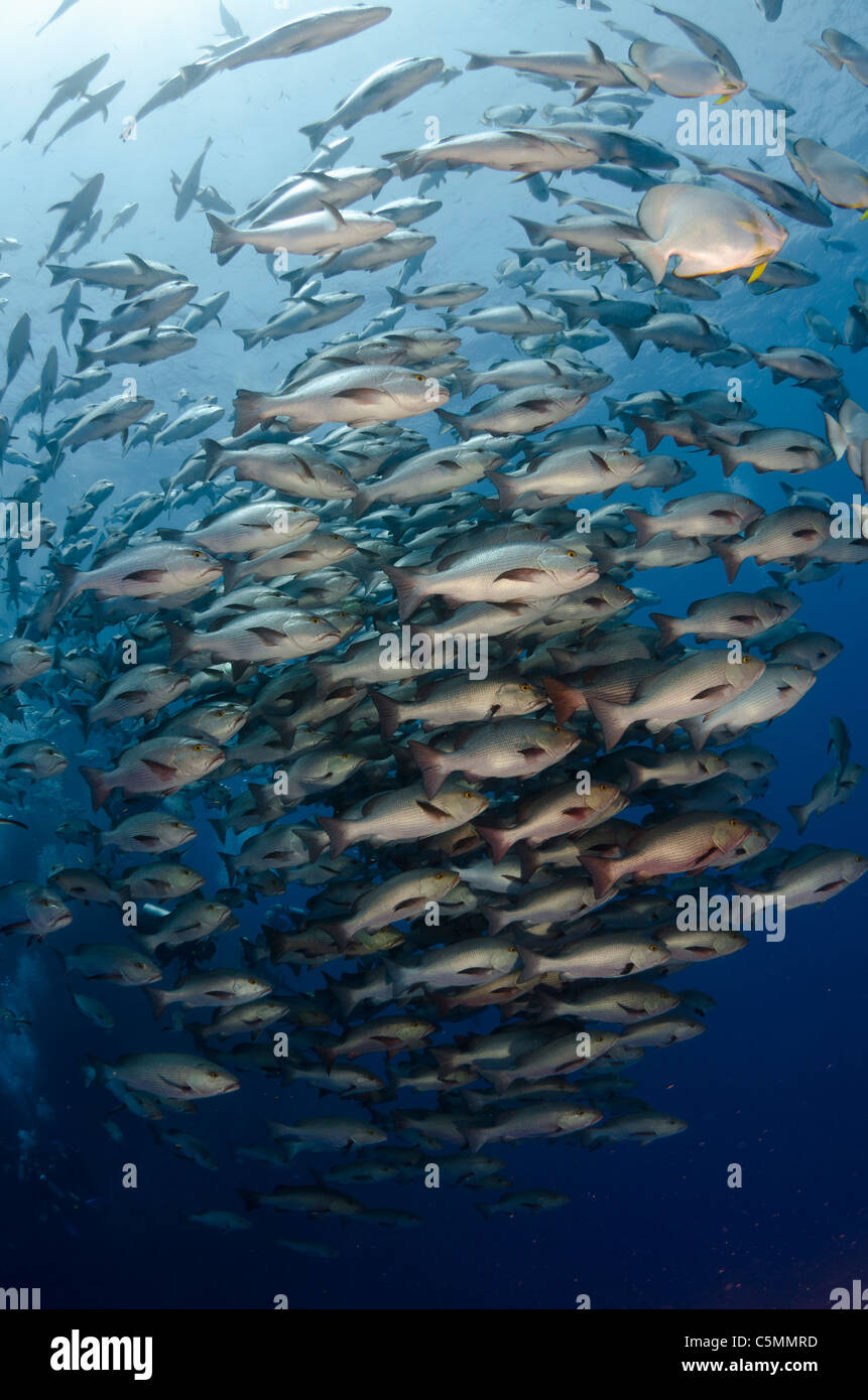 Bohar snappers schooling around Ras Mohammed in annual mating season, Sinai, Egypt, Red Sea - Stock Image