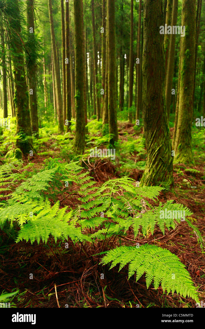 Ferns in the forest in Azores islands, Portugal. - Stock Image