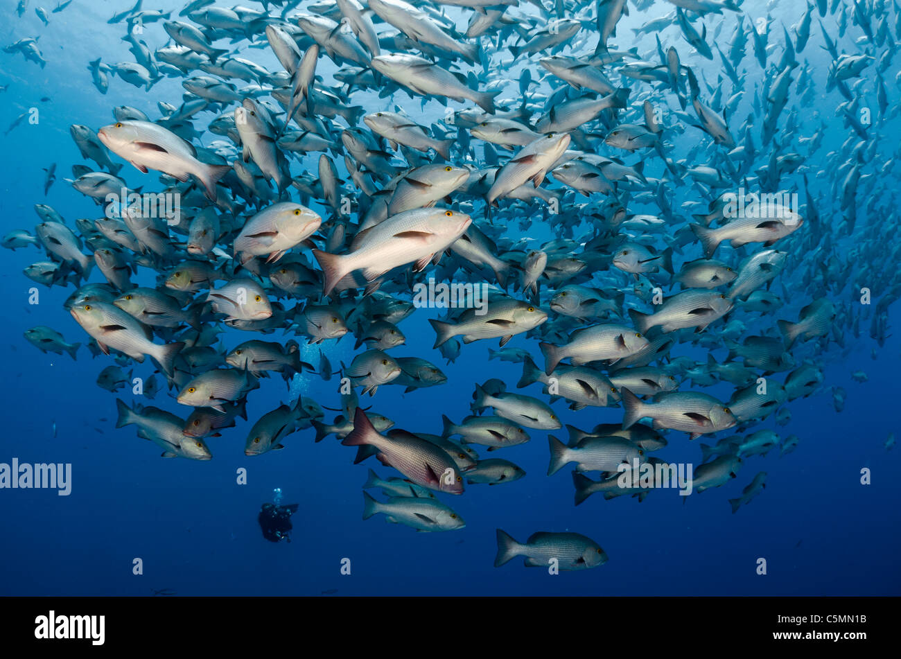 Bohar snappers schooling around Ras Mohammed in annual mating season, Sinai, Egypt, Red Sea Stock Photo