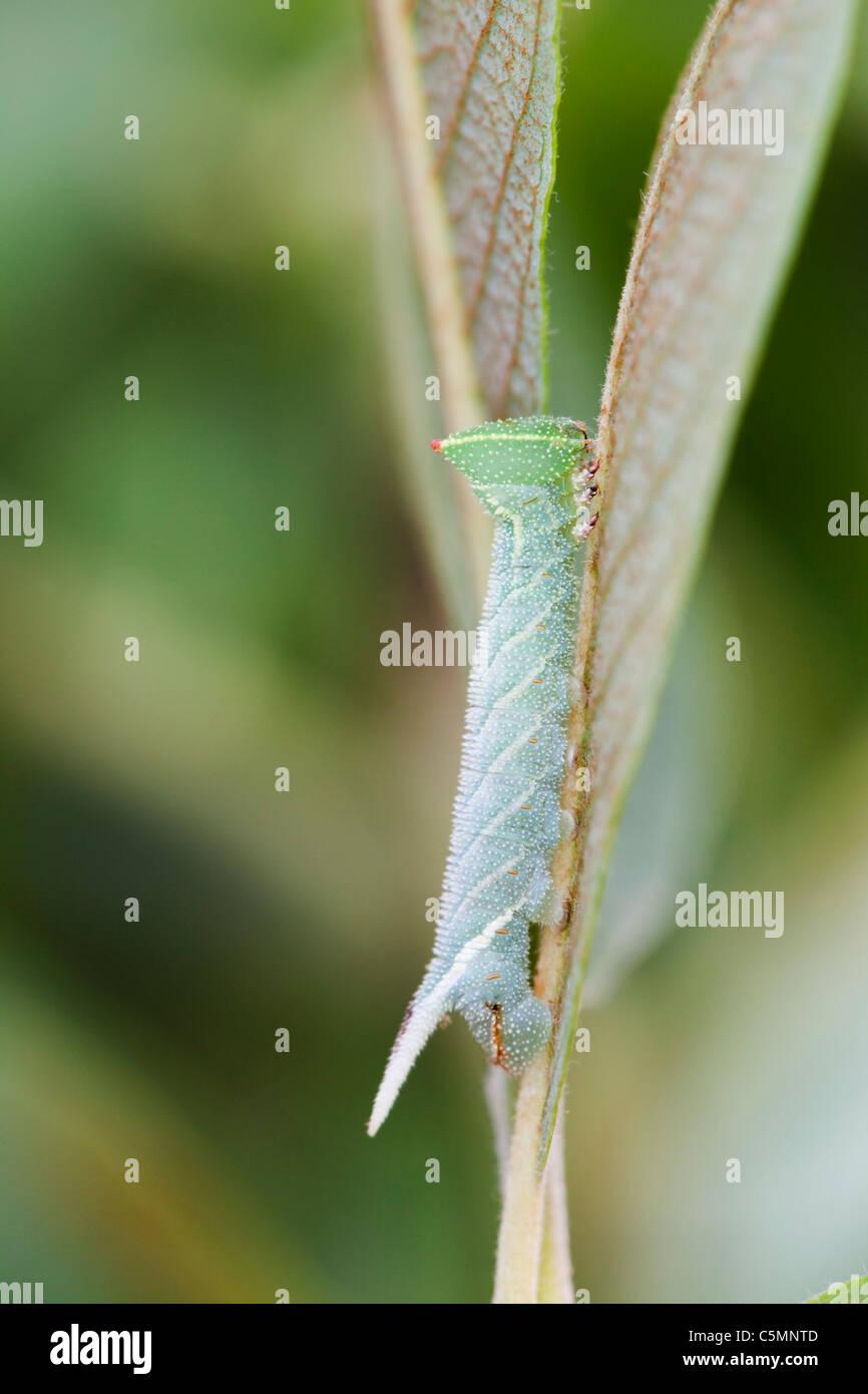 Eyed Hawkmoth Larva; Smerinthus ocellata; Stock Photo