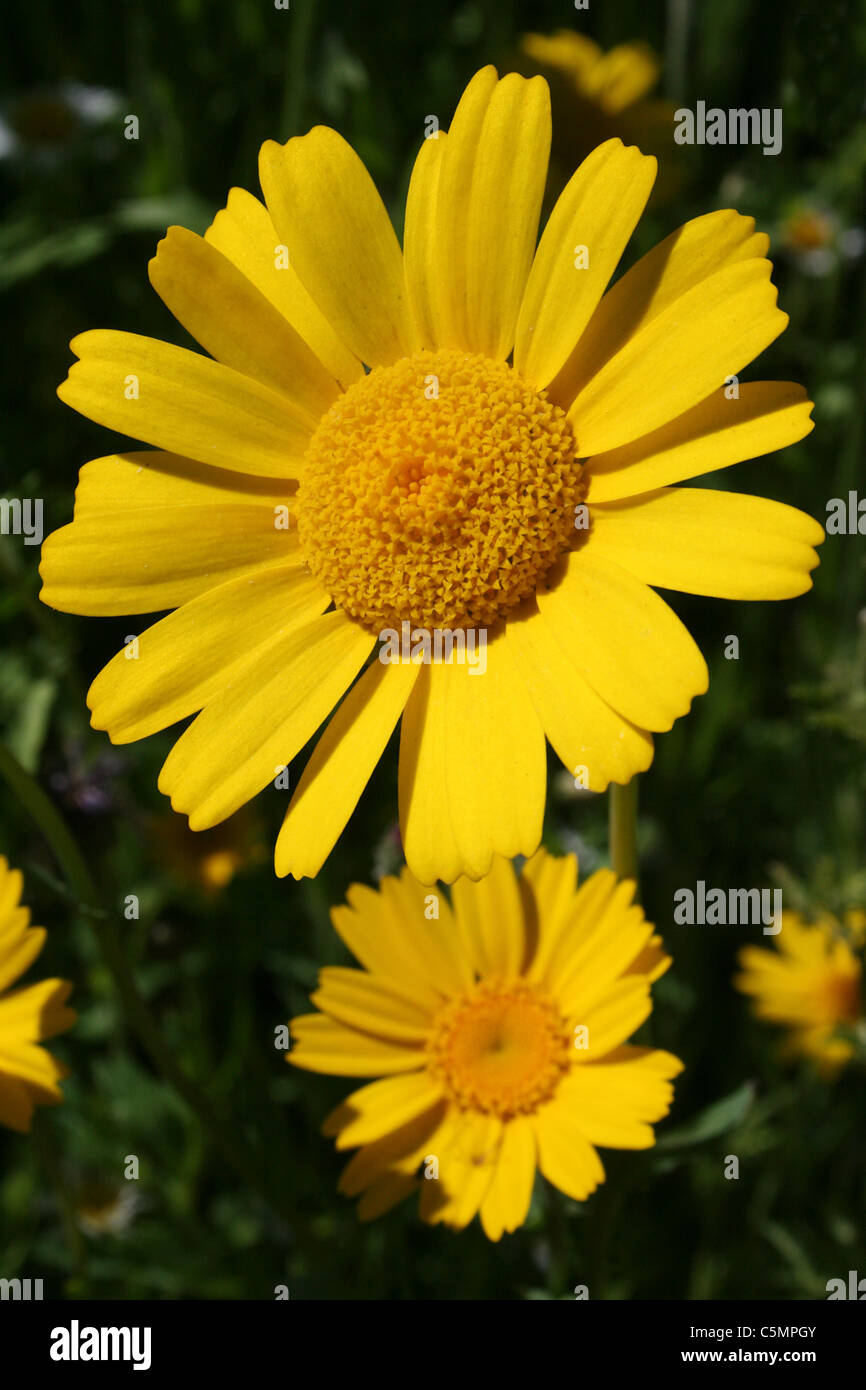 Corn Marigold Chrysanthemum segetum Stock Photo