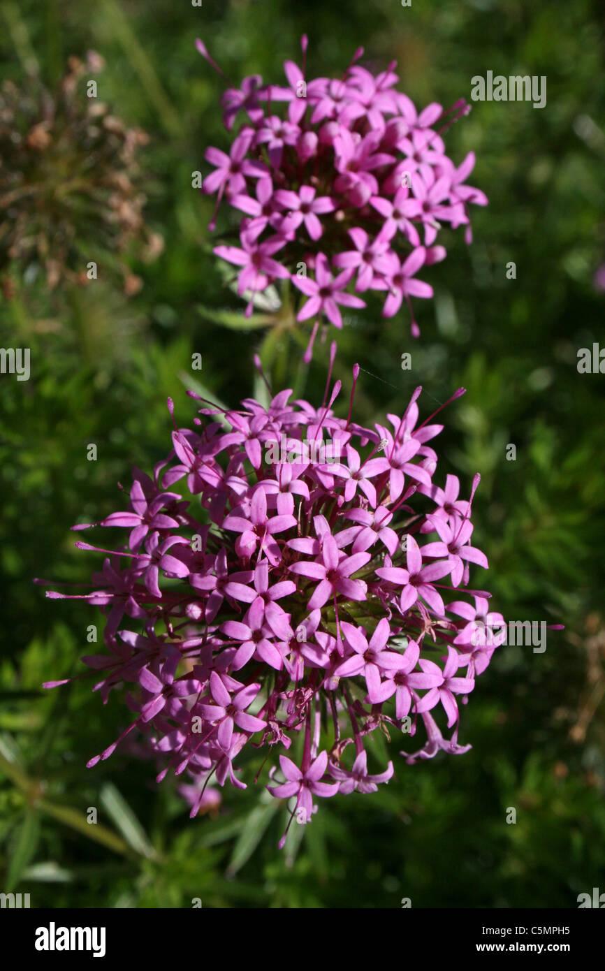 Pink Flowering Allium Flowers - Stock Image