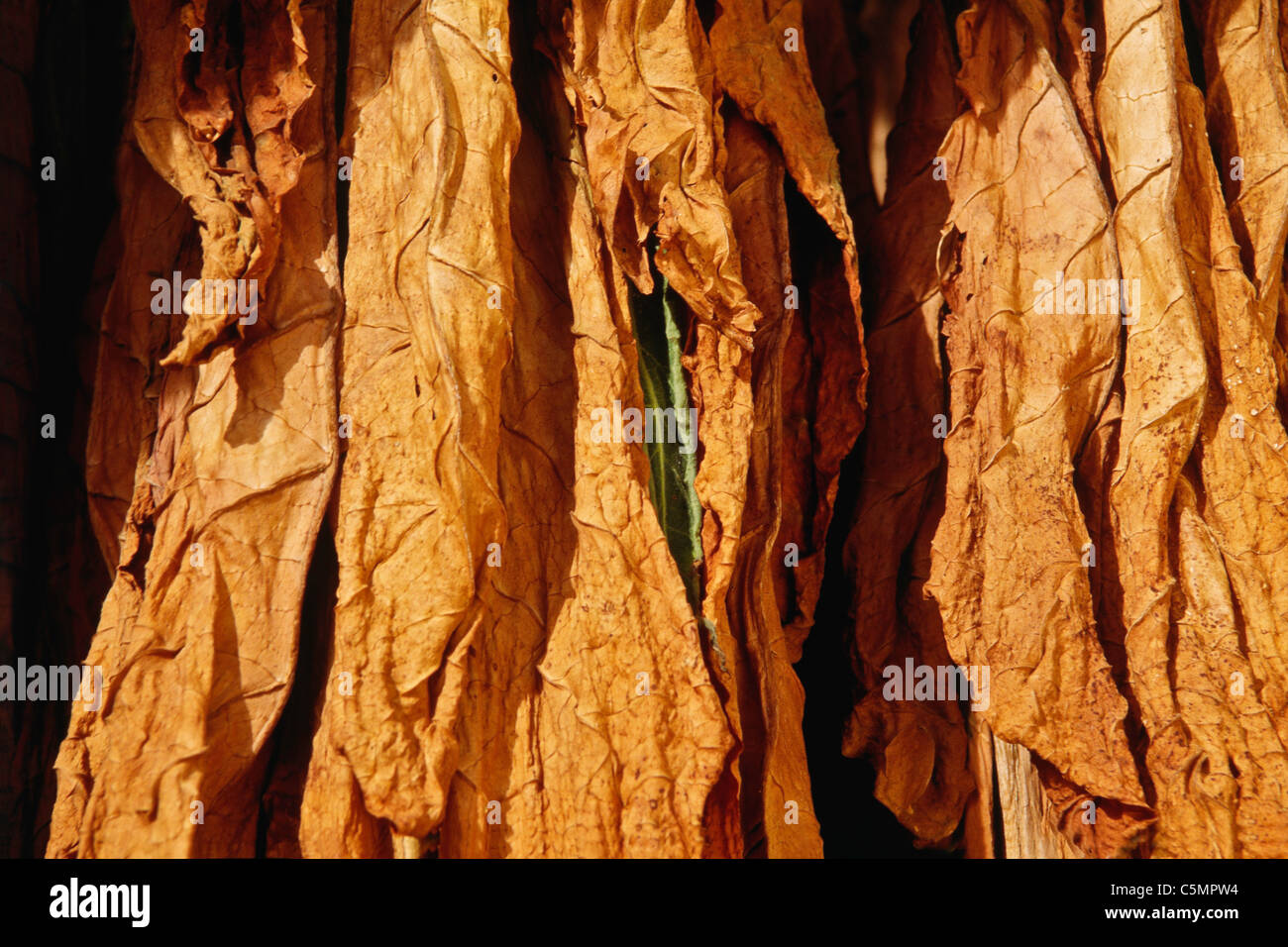 Shade Tobacco Leaves, Air Curing, USA - Stock Image