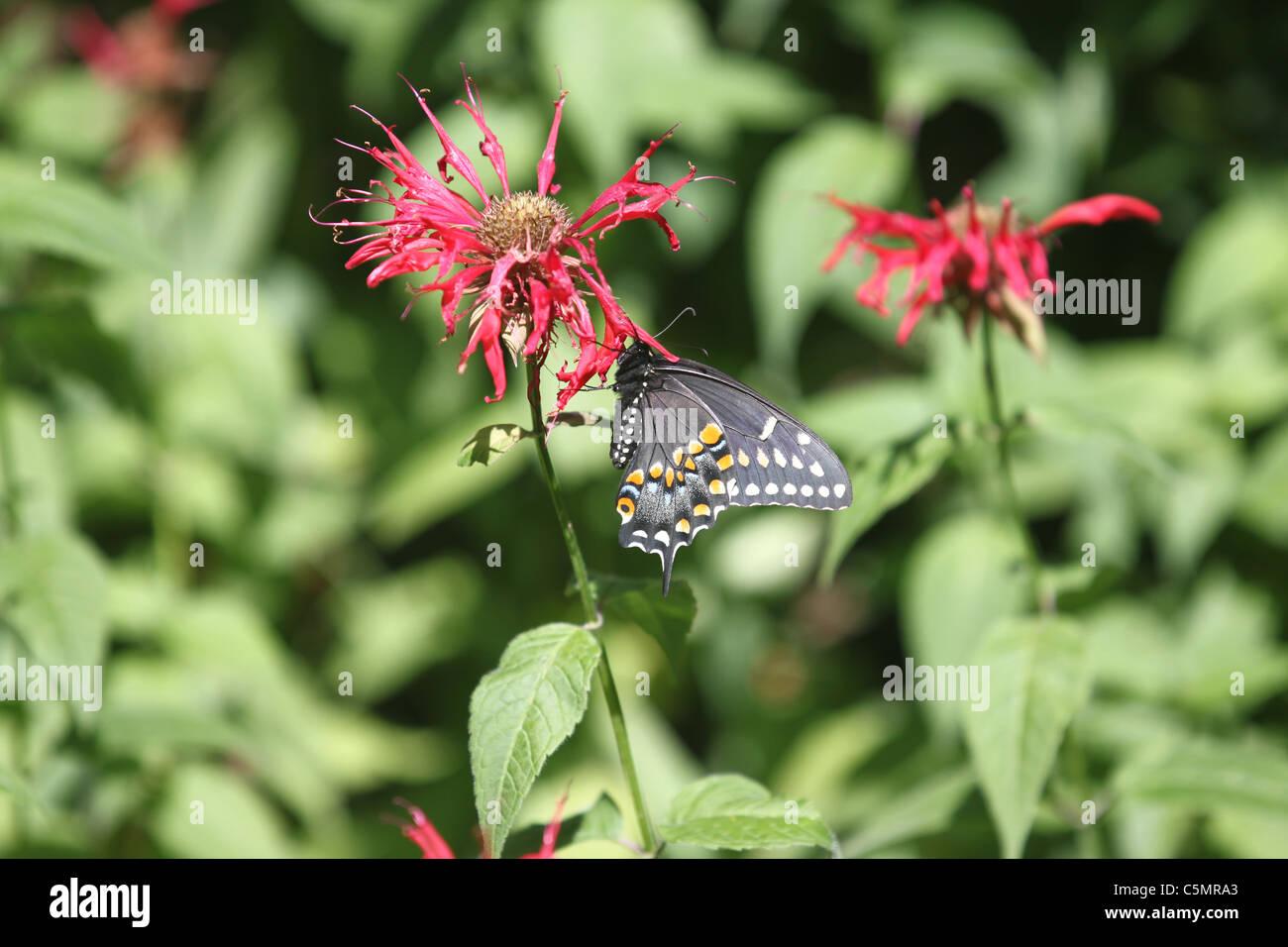 Black Swallowtail Butterfly on a Monarda Stock Photo