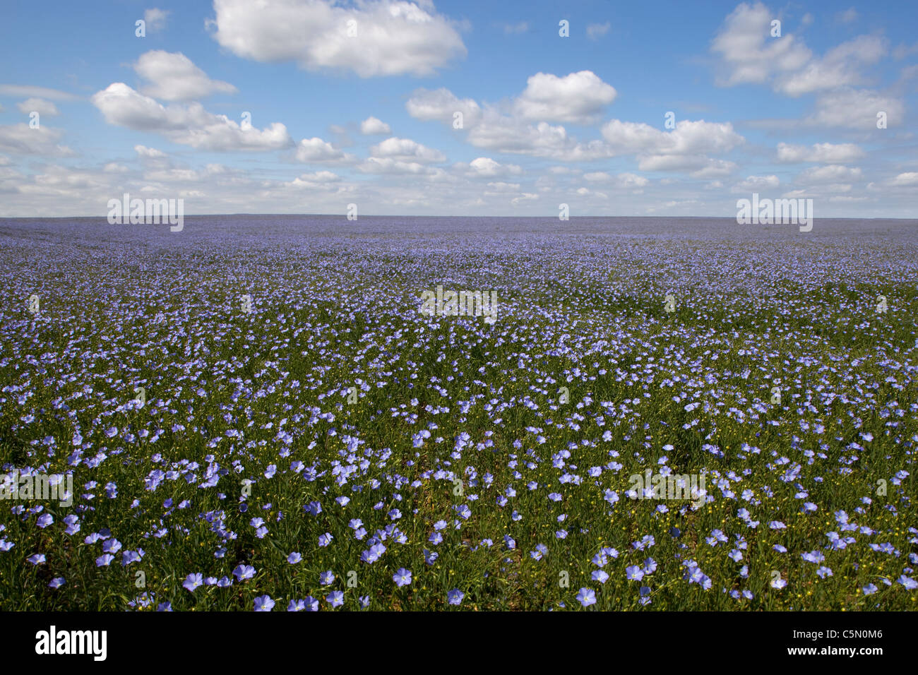 Field of linseed oil (flax) Oxfordshire, England - Stock Image