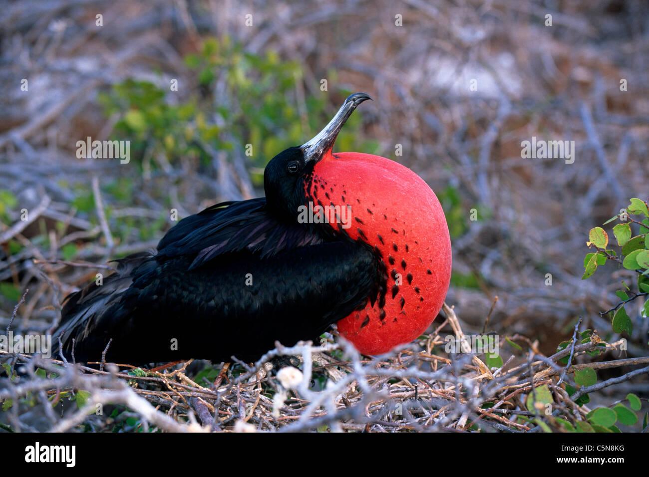 Male Magnificent Frigatebird inflating red Gular, Fregata magnificens, Galapagos, Ecuador - Stock Image