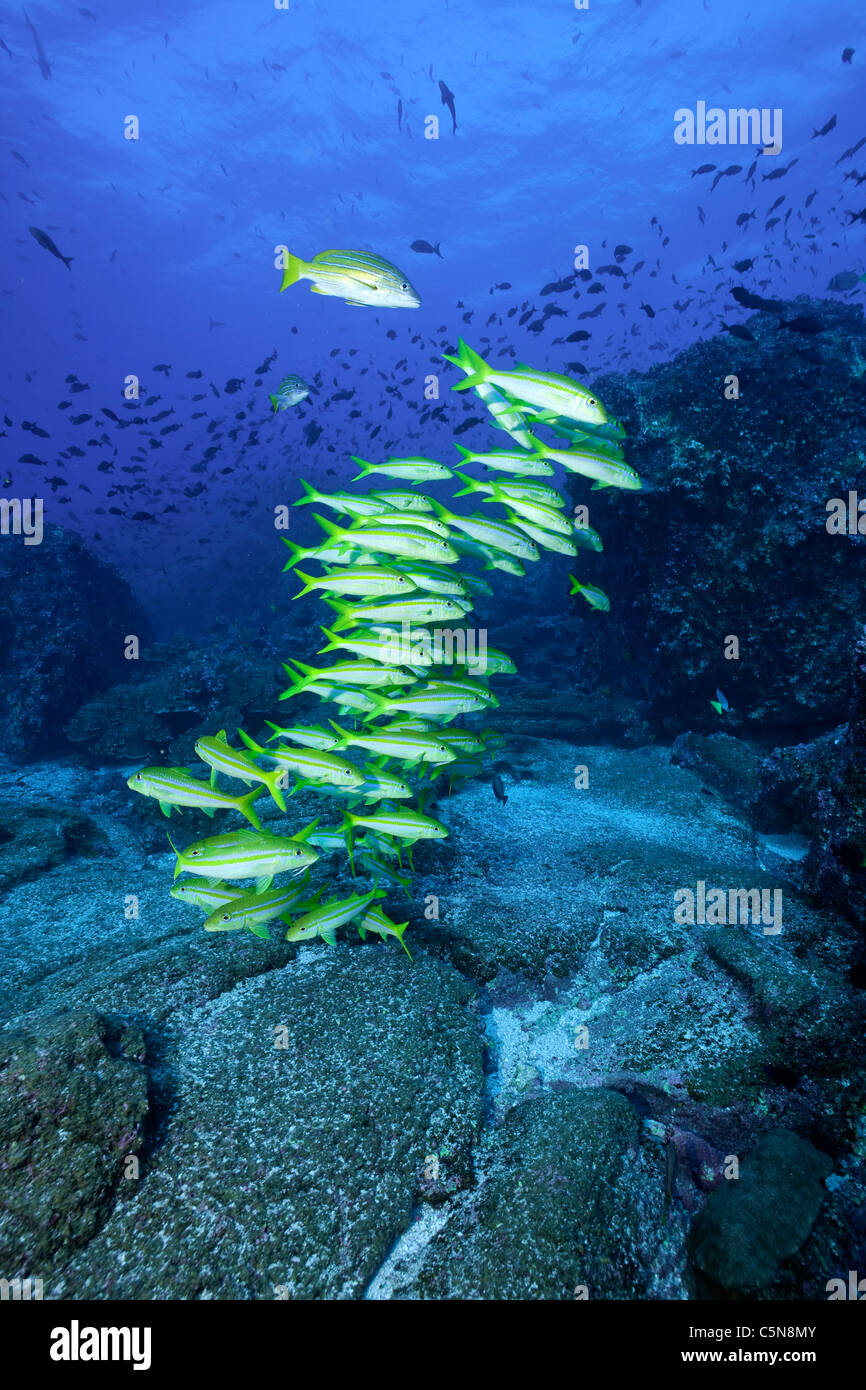 Shoal of Mexican Goatfish, Mulloidichthys dentatus, Galapagos, Ecuador - Stock Image