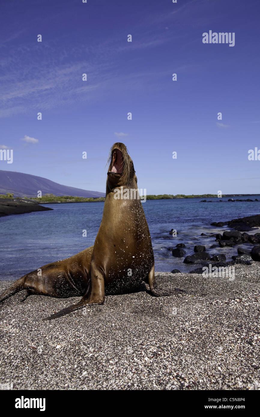 Galapagos Sea Lion, Zalophus wollebaeki, Galapagos, Ecuador - Stock Image