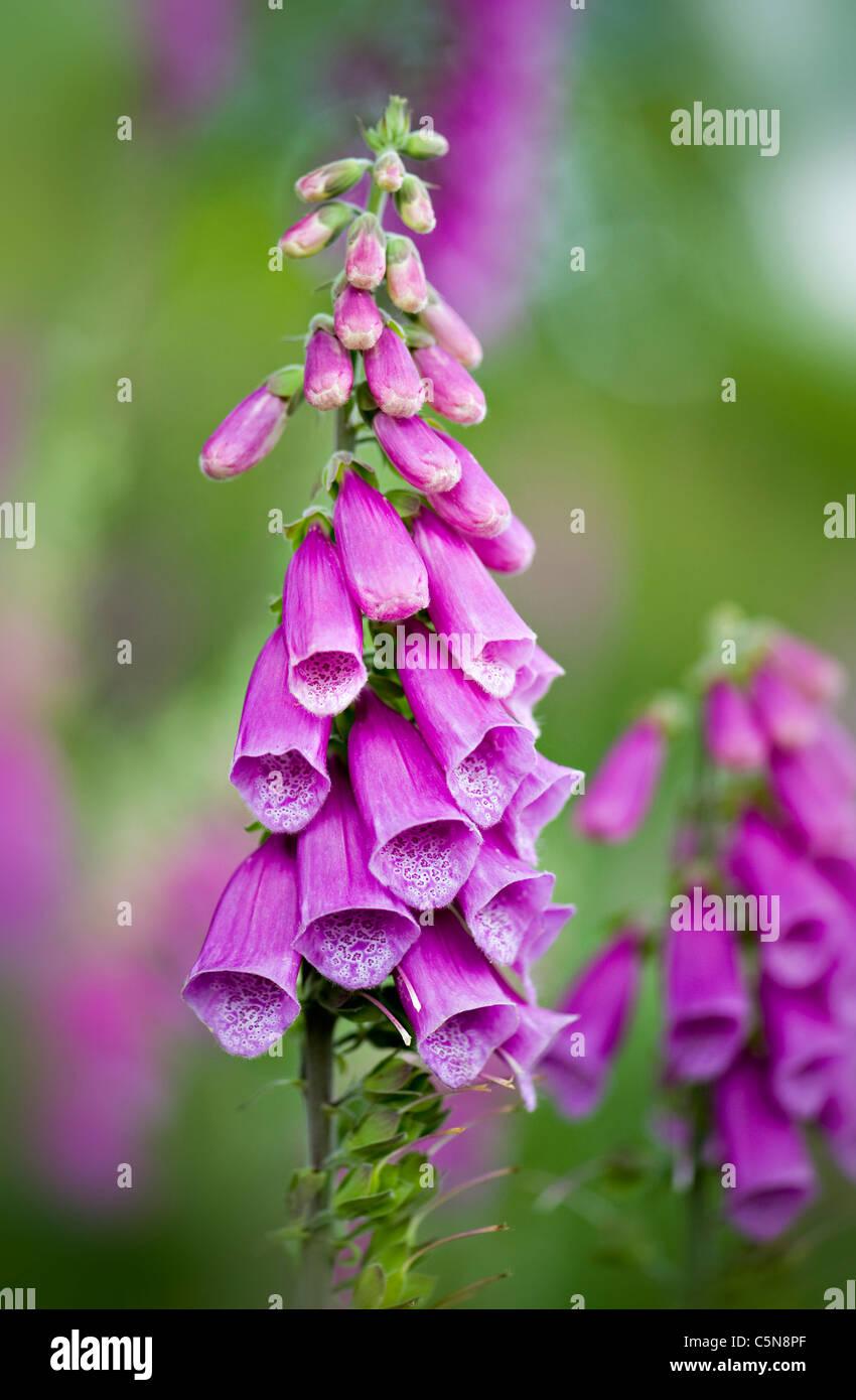 Foxgloves - Digitalis purpurea flowers - Stock Image
