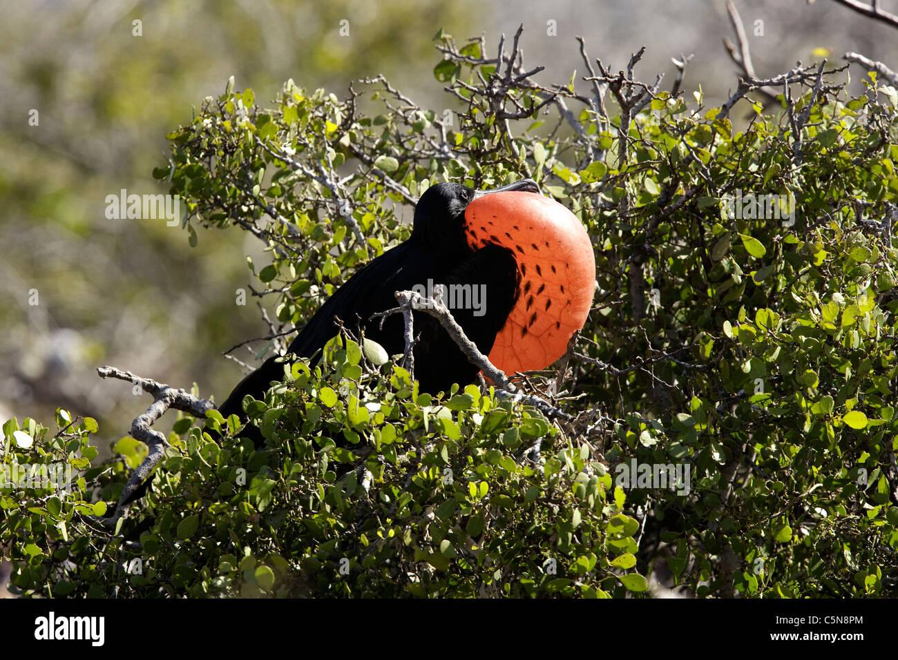 Male Magnificent Frigatebird inflating red Gular, Fregata magnificens, North Seymour Island, Galapagos, Ecuador - Stock Image