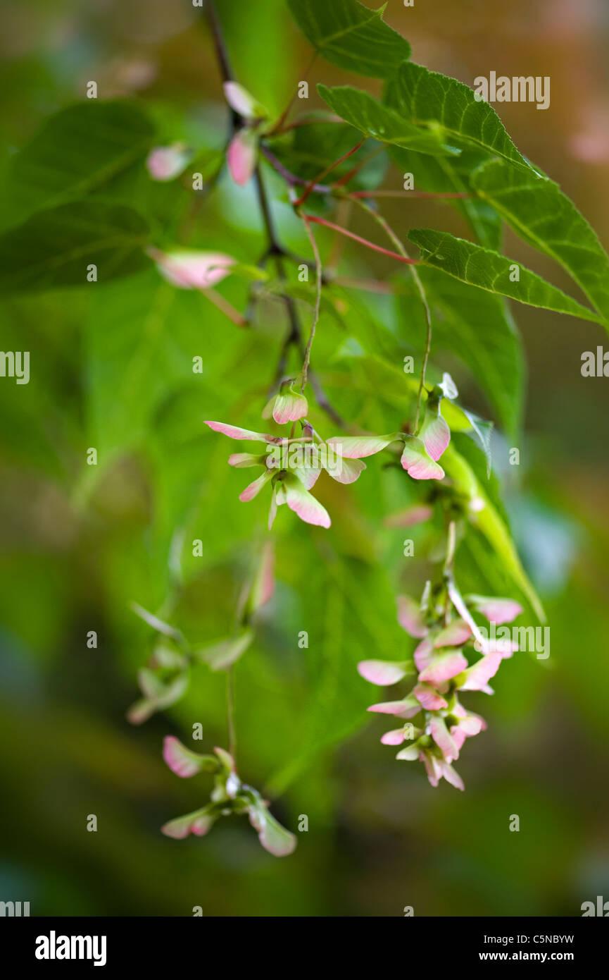Japanese Maple Seeds Stock Photo 37964413 Alamy
