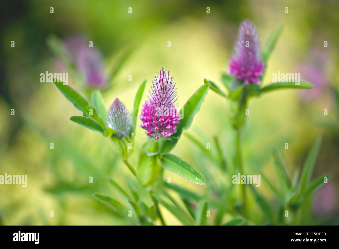 Trifolium rubens 'Red Feathers' flower - Stock Image