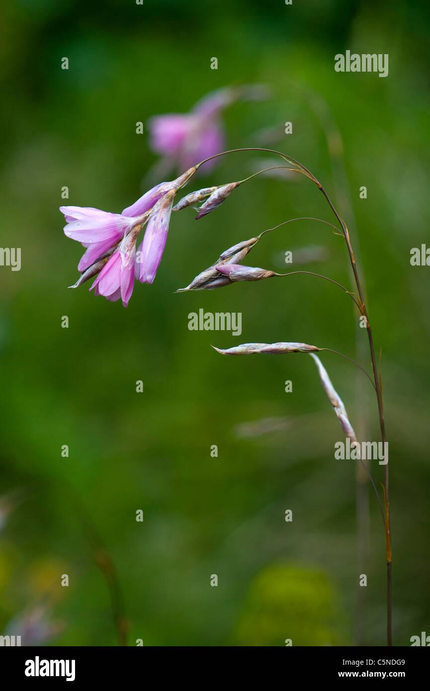 Dierama flower - Angel's fishing rod - Blue Belle - Stock Image
