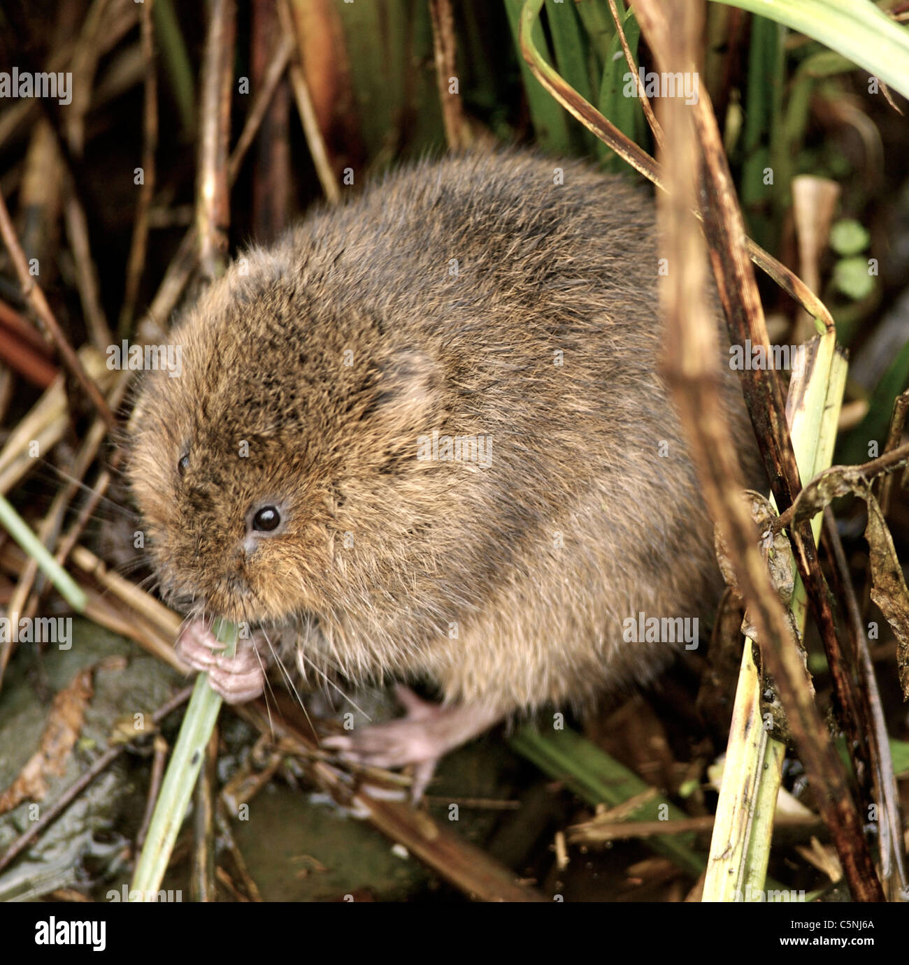 The European Water Vole or Northern Water Vole, Arvicola amphibius (formerly A. terrestris), is a semi-aquatic rodent. Stock Photo