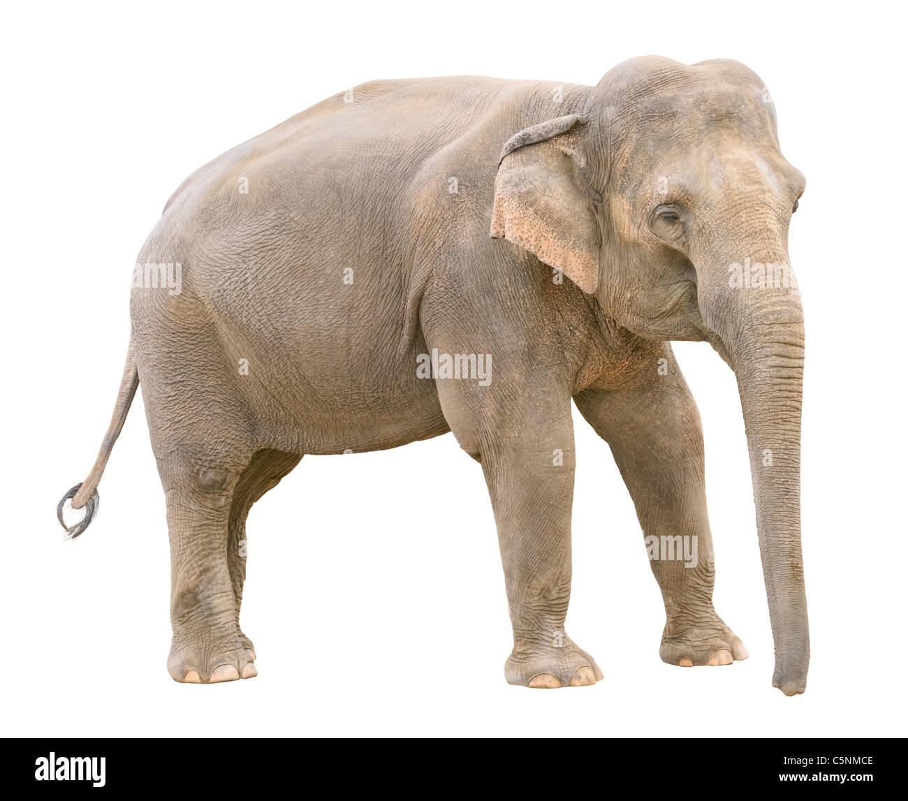 Asian elephant young female isolated on white background - Stock Image