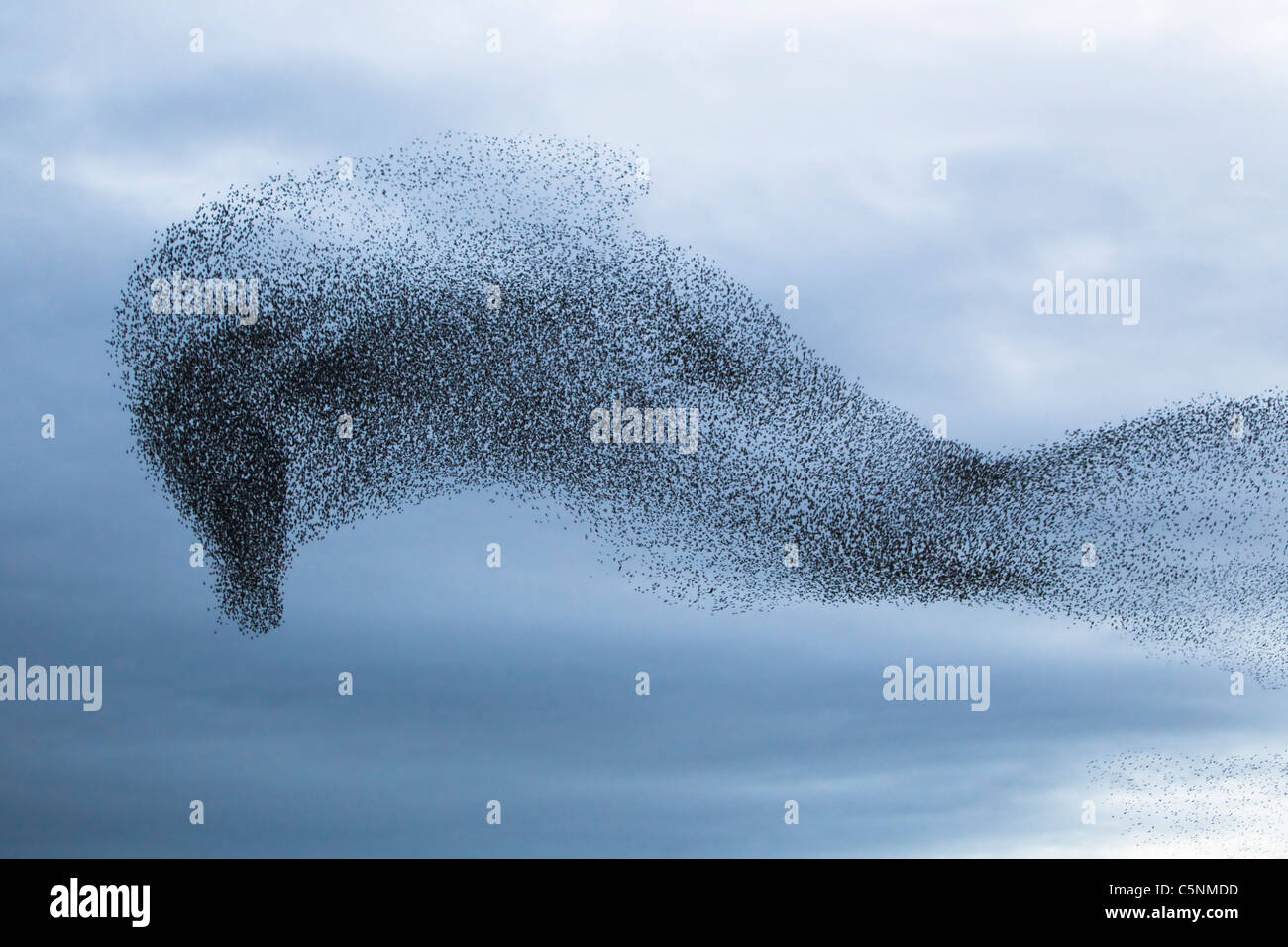 Starling - Gathering in huge flock at roost site Sturnus vulgaris Southern Scotland BI020422 - Stock Image