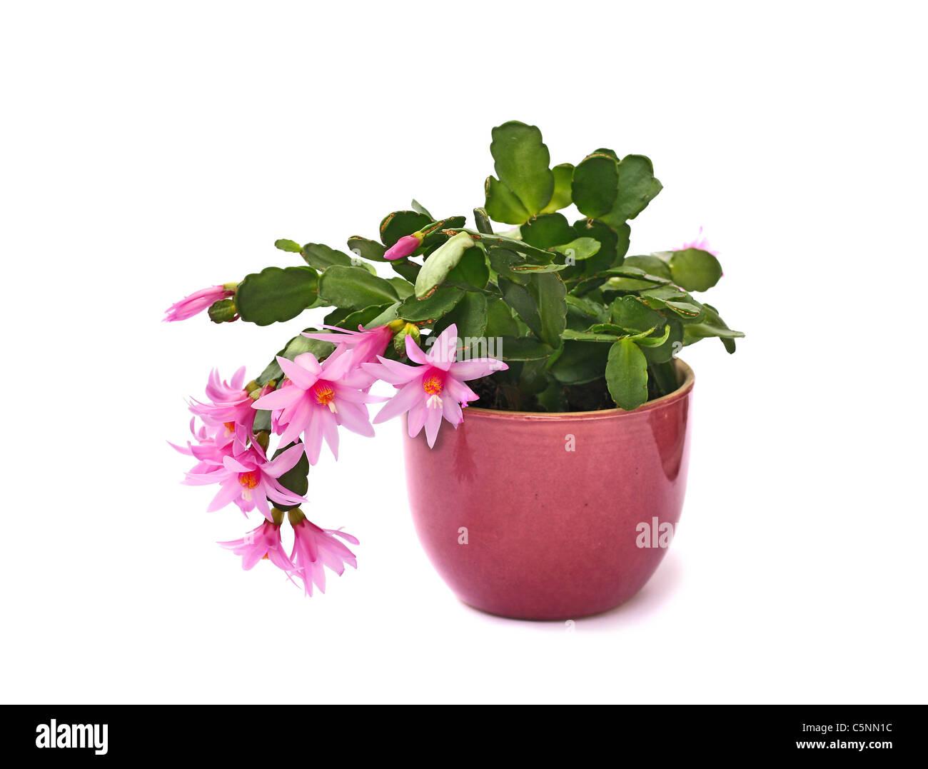 Beautiful Cactus Flower Stock Photos Beautiful Cactus Flower Stock
