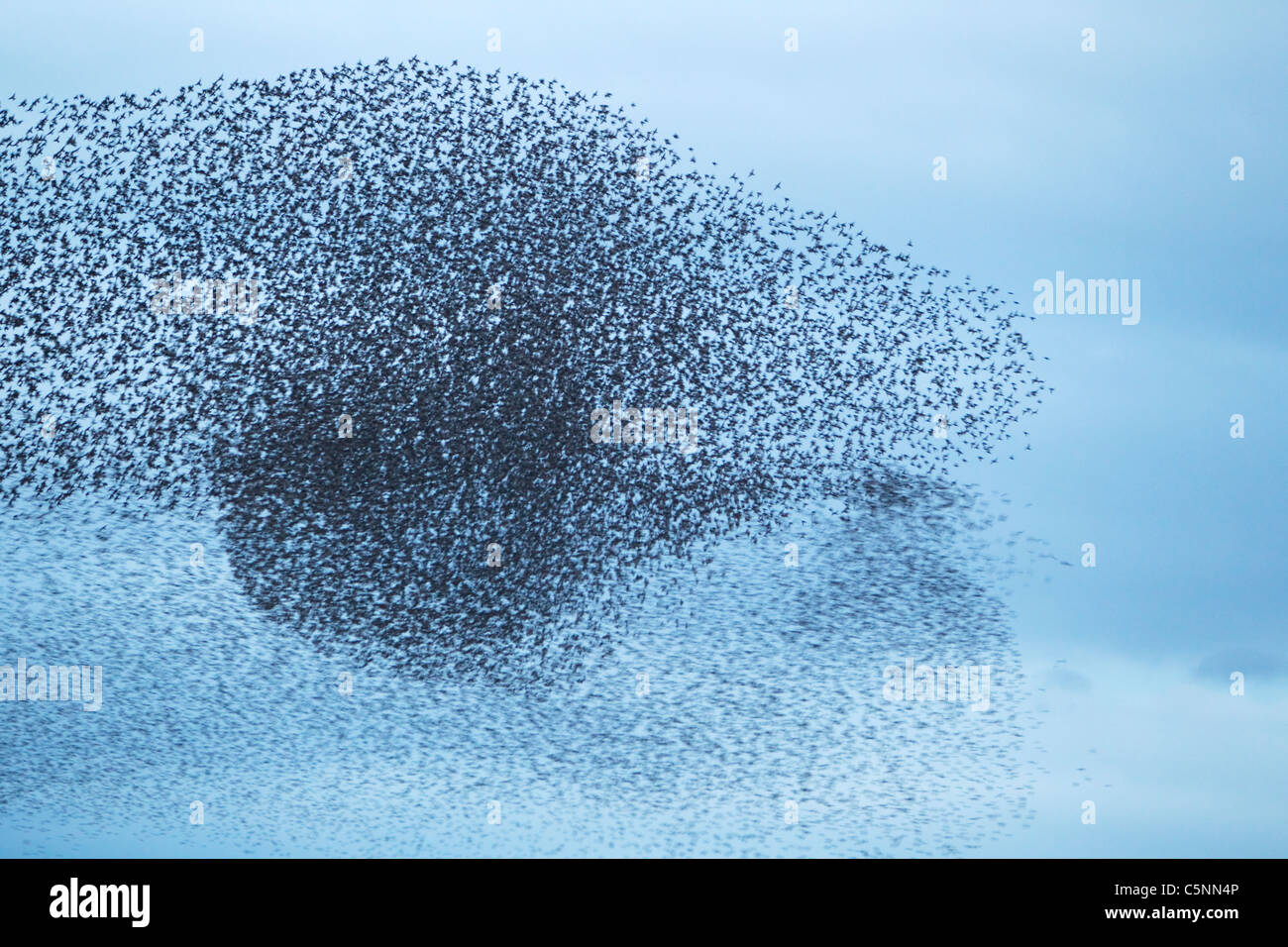 Starling - Gathering in huge flock at roost site Sturnus vulgaris Southern Scotland BI020523  - Stock Image