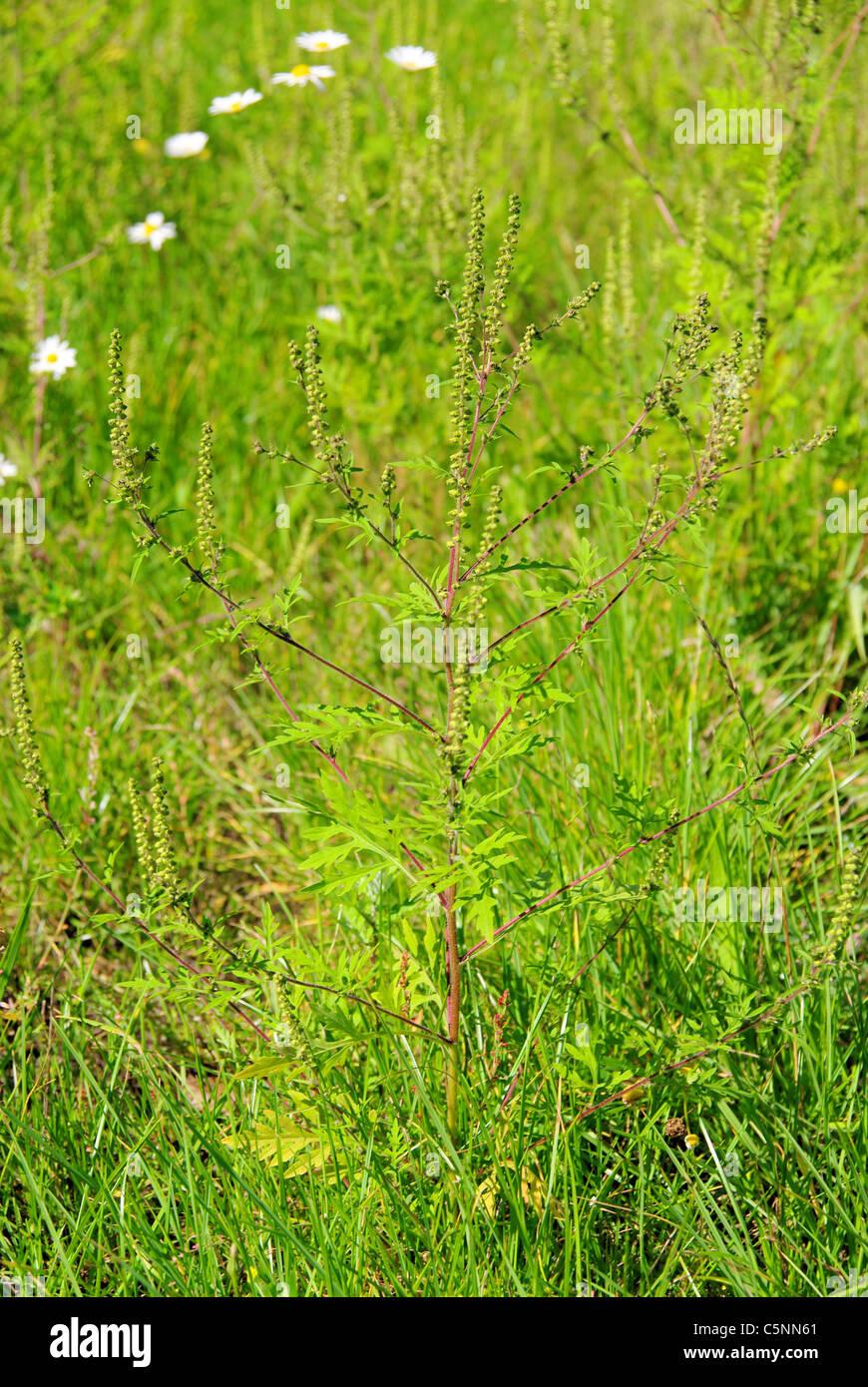 Ambrosia - Common Ragweed 01 Stock Photo