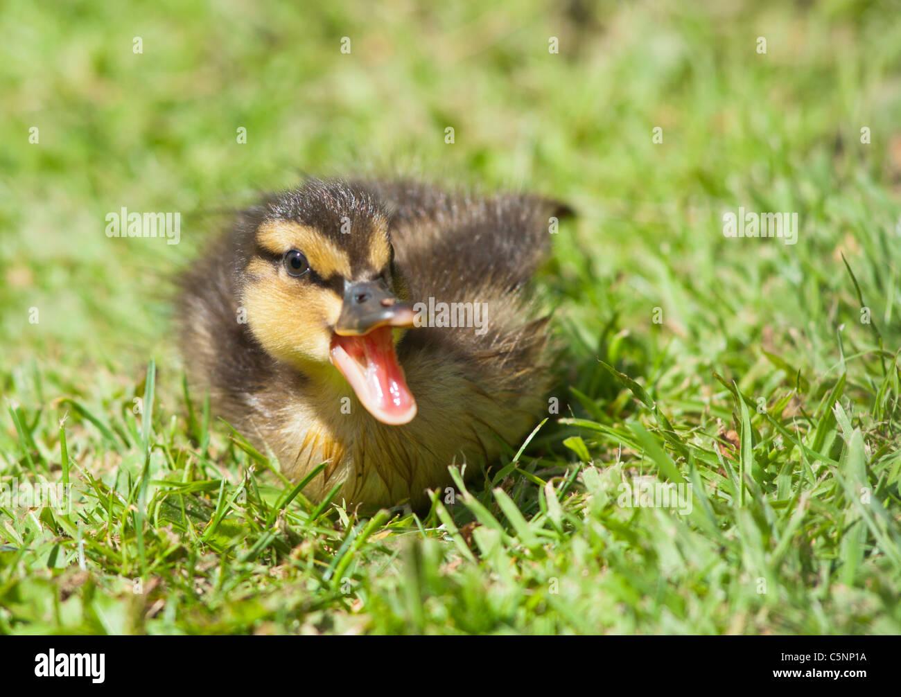 mallard duckling chirping seen in cheltenham england stock photo